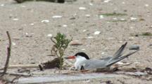 Common Tern (Sterna Hirundo) Bird On Nest
