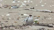 Common Tern (Sterna Hirundo) Bird On Nest, Stretches Wing