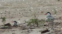 Common Tern (Sterna Hirundo) Pair Stand Near Plant & Preens Fearhers, Chick In Background