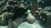 Nurse Shark (Ginglymostoma Cirratum) Searches In A Cave For Food, Lion Fish In Cave