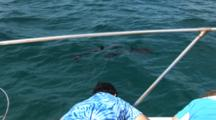 Passengers On Bow Of Boat Watch Atlantic Spotted Dolphins (Stenella Frontallis) Swim By In Clear Blue Bahamian Water