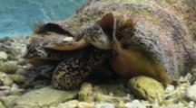 Queen Conch (Strombus Gigas) Moves Proboscis Around While Feeding