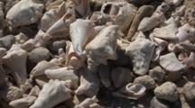 Close Up Of Discarded And Weathered Queen Conch Shells On Beach, Shot Slowly Rotates Left