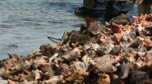 Pile Of Discarded And Weathered Queen Conch Shells In Marina