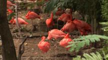 Flamingos (Phoenicpoterus) In A Group, Hand Held Shot
