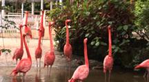 Flamingos (Phoenicpoterus) Wading In A Pond And Do A