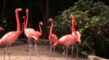 Flamingos (Phoenicpoterus) Wander About, Hand Held Shot