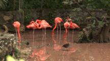 Flamingos (Phoenicpoterus) Interact In A Pond, Hand Held Shot