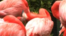 Flamingos (Phoenicpoterus) Resting With Head Under Wing, Hand Held Shot