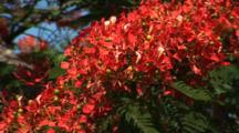 Colorful Flowers On A Royal Poinciana Tree In The Bahamas