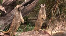 Meerkats On Display In An An Artifical Habitat