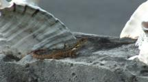 Saw Scaled Curly-Tail Lizard (Leiocephalus Carinatus Coryi) Near Conch Shell On Wall