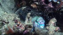 Parrotfish Sleeping In Mucus Cocoon At Night, Malaysia.