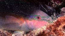Parrotfish In Mucus Cocoon Sleeping At Night, Bonaire, Caribbean