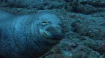 Hawaiian Monk Seal Relaxes On Bottom, In The Wild At Lehua Rock, Near Niihau Island, Hawaii
