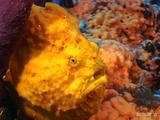 Longlure Frogfish, Dominica
