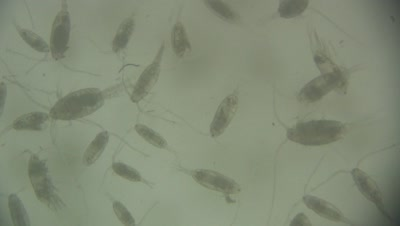 Plankton Including Copepeds