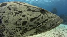 Potato Grouper, Epinephelus Tukula, Sometimes Called A Potato Cod, Cod Hole, Great Barrier Reef, Queensland, Australia, Pacific Ocean.
