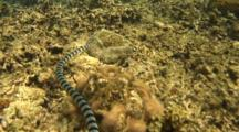A Banded Sea Snake, Laticauda Colubrina, Hunting On The Reef, Batangas, Philippines, Pacific.