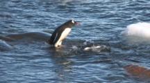 Young Gentoo Penguins, Pygoscelis Papua, Antarctic Peninsula, Antarctica, Great Southern Ocean.