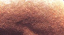 Close-Up Of Brain Coral Polyps Showing Color Of Zooxanthellae, Batanagas, Philippines, Pacific Ocean.