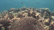 Wide Shot Of Brain Coral Head Showing Sunlight On Zooxanthellae, Batanagas, Philippines, Pacific Ocean.