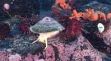 Antarctic Limpets, Nacella Concinna, Feeding On Algae On The Rocks Underwater, Antarctica.