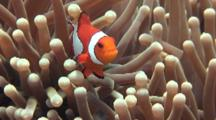 False-Clown Anemonefish, Amphiprion Ocellaris, Sometimes Called Clownfish Or Nemo Frolicking In Its Host Anemone, Batangas, Phillipines, Pacific Ocean.