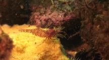 An Unknown Species Of Shrimp (Hingeback?) In The North Atlantic Ocean. Maine, Usa.