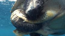 Close Up Green Sea Turtles Mating