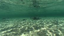 Southern Stingray, Dasyatis Americana, Morning Schooling Behavior Underwater At Stingray City, Grand Cayman, Cayman Islands, Caribbean Sea.