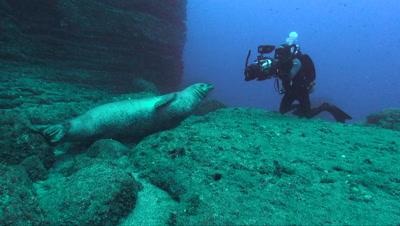 Hawaiian Monk Seal with Diver
