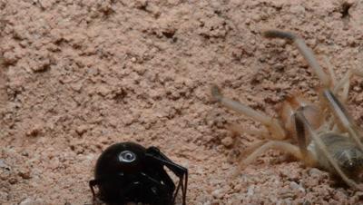 Camel Spider and Black Widow Quarrel