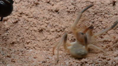 Camel Spider Viciously Attacks And Gruesomely Preys On Black Widow