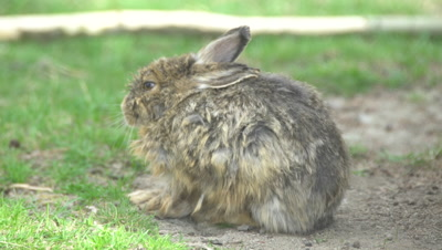 4K SnowShoe Hare - sits tucks ears back in wind, long lens - NOT Colour Corrected