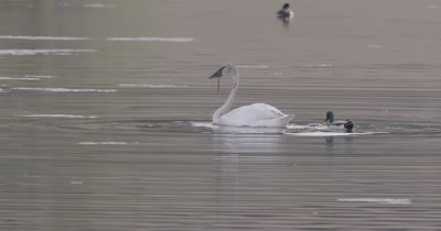 4K Trumpeter swan diving for food in lake, ducks around - SLOG2 NOT Colour Corrected