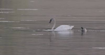 4K Trumpeter swan diving for food in lake, ducks around, Slow Motion - SLOG2 NOT Colour Corrected