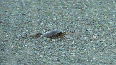 4K Painted Turtle lays eggs in sand, ants crawling around - NOT Colour Corrected