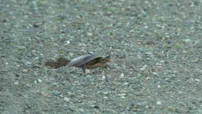4K Painted Turtle lays eggs in sand - NOT Colour Corrected