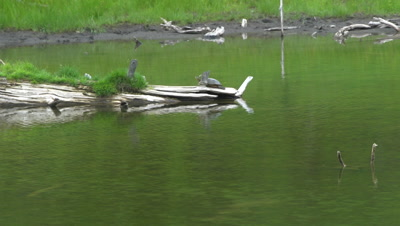 4K Painted Turtle resting on end of log in lake - NOT Colour Corrected
