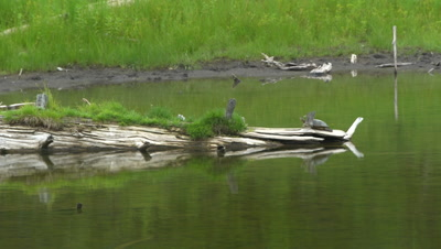 4K Painted Turtle, two resting on log in lake, Pan along them - NOT Colour Corrected