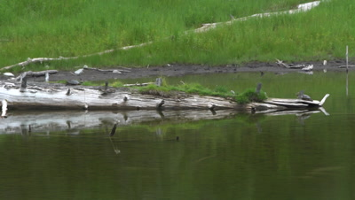 4K Painted Turtle, two resting on log in lake, Wider Shot - NOT Colour Corrected