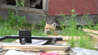 4K Red Fox pup watching from behind garbage - NOT Colour Corrected