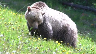 4K Grizzly grazing on grass and dandelions hill side, claws at ground - NOT Colour Correction