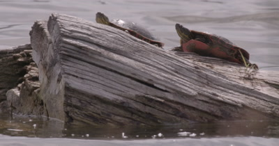 4K two Painted Turtles on log in lake one climbs up - NO Colour Correction