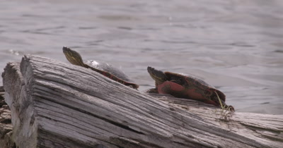 4K two Painted Turtles on log in lake Close up - NO Colour Correction