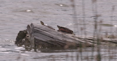 4K two Painted Turtles on log in lake Pan along Reeds in foreground medium shot - NO Colour Correction
