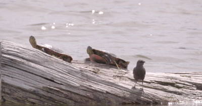 4K two Painted Turtles on log in lake pan with bird along log Tight shot - NO Colour Correction