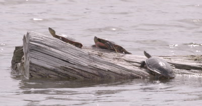 4K three Painted Turtles on log in lake - NO Colour Correction