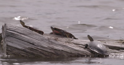 4K three Painted Turtles on log in lake Tight Shot - NO Colour Correction